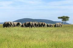 The elephants in the savannah. Herd of elephants in the green savannah against the backdrop of the mountains royalty free stock images