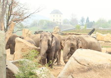 Herd of elephants Royalty Free Stock Photography