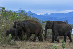 A herd of elephants head into bushland at Uda Walawe National Park. A herd of elephants head into bushland at Uda Walawe National Park which is located 21 km royalty free stock images