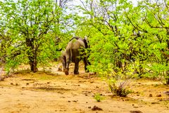Herd of Elephants heading back into the forest of Kruger National Park Stock Photo