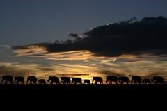 Herd of elephants. At sunset Stock Photos
