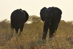 African Elephants Loxodonta africana in the Etosha National Park royalty free stock photo