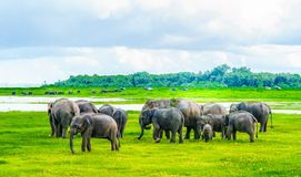 Herd of elephants in Kaudulla national park, Sri Lanka royalty free stock photo
