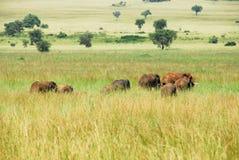Herd of elephants, Kidepo Valley National Park, Uganda Royalty Free Stock Images