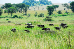 Herd of elephants, Kidepo Valley National Park, Uganda Royalty Free Stock Image