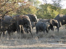 A herd of elephants Stock Photo