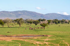 Herd of elephants leaving a water point Royalty Free Stock Images