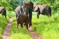 Herd of elephants Royalty Free Stock Photo