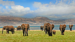 Herd of elephants on the lush plains in Bumi National Park - Zimbabwe Stock Images