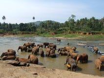 Herd of elephants in Maha Oya river Stock Photo