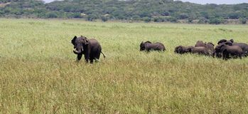 Herd of elephants in Africa royalty free stock photography