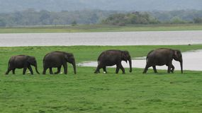 A herd of elephants marching stock photo