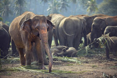 Herd of elephants at mealtimes Stock Photos