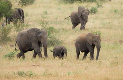 Herd of Elephants on the move in South Africa. A breeding herd of African bush elephants (Loxodonta africana) moving at pace through the savanna of Kruger royalty free stock photo