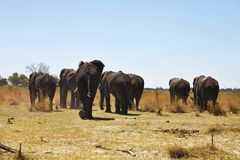 Herd of elephants moving dirt road Bwabwata National Park, Namibia Stock Image