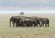 A herd of elephants moving in the grassland Stock Images