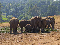 Herd of elephants at the orphanage Royalty Free Stock Photography