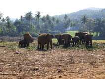 Herd of elephants at the orphanage Royalty Free Stock Images
