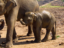 Herd of elephants at the orphanage Royalty Free Stock Image