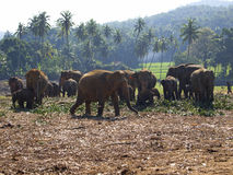 Herd of elephants at the orphanage Stock Images
