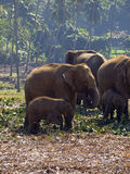 Herd of elephants at the orphanage Stock Photos