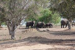 A herd of elephants passes. A herd of elephants passes through the Yala National Park in Sri Lanka Stock Photo