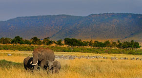 A herd of elephants on the plains in the masai mara Stock Photo