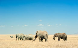 Herd of Elephants in the plains of Serengeti. A herd of African Elephants (loxodonta) is moving in the dry plains of Serengeti National Park in Tanzania, East Royalty Free Stock Photo
