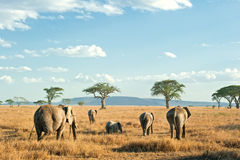 Herd of Elephants in the plains of Serengeti,. A herd of African Elephants (loxodonta) is moving in the evening light in the dry plains of Serengeti National Stock Images