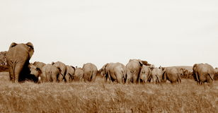 A herd of elephants from the rear Royalty Free Stock Image