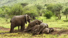 Herd of elephants resting, Serengeti, Tanzania Royalty Free Stock Photo