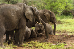 Herd of elephants resting, Serengeti, Tanzania Stock Images