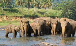 Herd of elephants in river bath Stock Photos