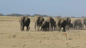 Herd of elephants running through the dried savanna where the Thompson`s gazelle stock video footage