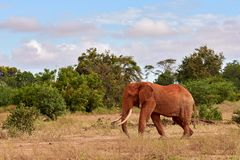An herd of elephants is savage and pounding in safari in kenya, Africa. Trees and grass royalty free stock photography