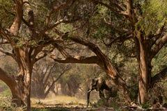 Elephant in savannah in Namibia. Herd of elephants in savannah in Namibia stock photos