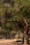 Elephant in savannah in Namibia. Herd of elephants in savannah in Namibia stock photo