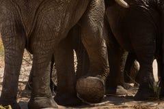 Elephant in savannah in Namibia. Herd of elephants in savannah in Namibia stock photography
