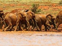 Herd of elephants in the savannah Stock Photos