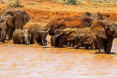 Herd of elephants in the savannah Royalty Free Stock Image