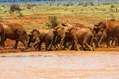 Herd of elephants in the savannah Royalty Free Stock Photography