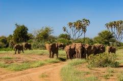Herd elephants in the savannah. Of Samburu Park in central Kenya stock images