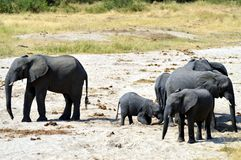 Herd of elephants in search of water Stock Photography
