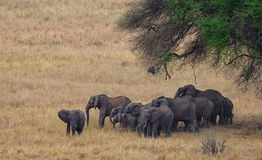Herd of Elephants Stock Images