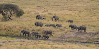 Herd of Elephants 3 Stock Photo