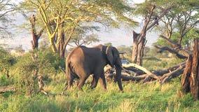 Herd of elephants the Serengeti stock footage