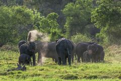 A herd of elephants in Sri Lanka. stock photos