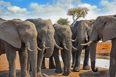 Herd of elephants stand in a straight line facing each other with a vibrant blue sky Hwange National Park, Zimbabwe, Southern Afri Royalty Free Stock Photography
