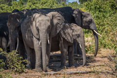 Herd of elephants standing together in shade Stock Image
