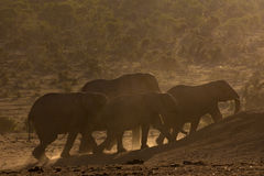 Herd of elephants at sunset Royalty Free Stock Photos